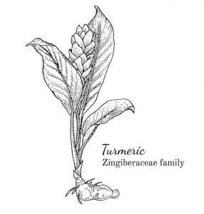 схема на растението куркума