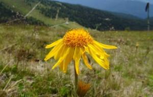 Mountain Arnica