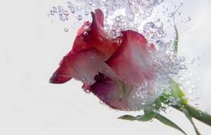 Rose Water (Oil)